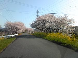 sakuramichi01.jpg